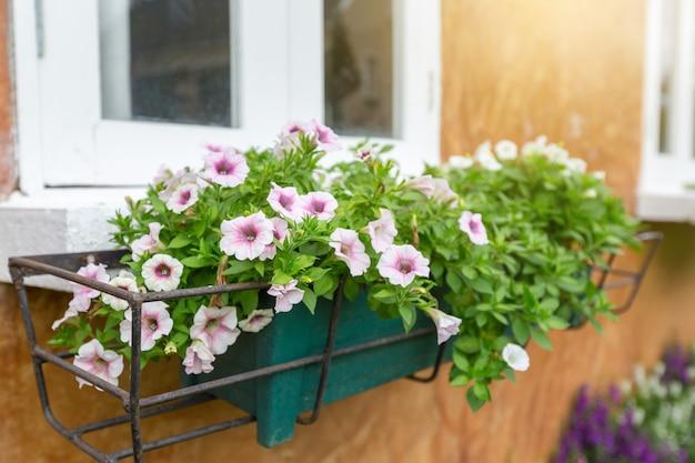 Pote de flores de anêmona branco / rosa é colocado em uma estrutura de aço para decorar o edifício para olhar