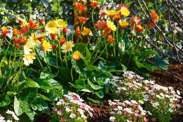 Pote marigold amarelo (calendula officinalis) na primavera