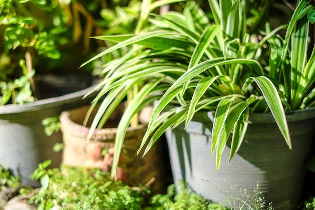 Potenciômetro fresco da planta de aranha das folhas no jardim da casa.