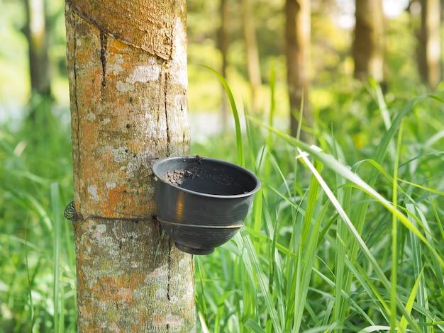 Potenciômetro ou bacia para o látex de borracha enchido na árvore da borracha na plantação, tailândia.