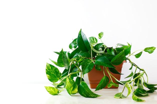 Pothos dourado ou epipremnum aureum na mesa branca na sala de estar em casa e jardim