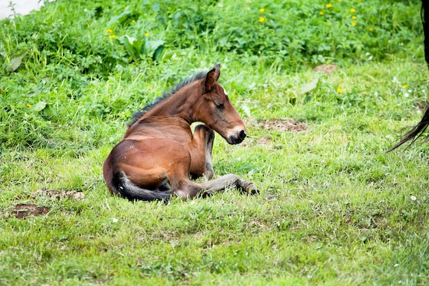 Potro deitado na grama