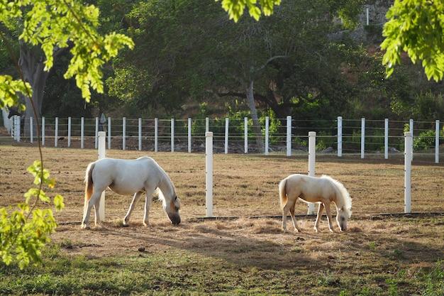 Potro e cavalo branco comem palha