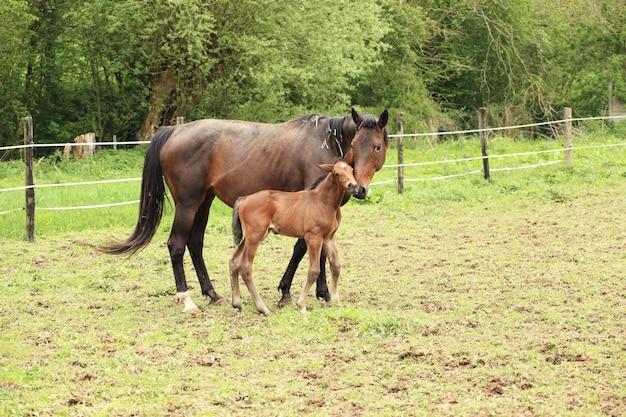 Potro jovem com sua mãe em um campo na primavera