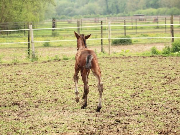 Potro jovem tem seus primeiros passos no prado
