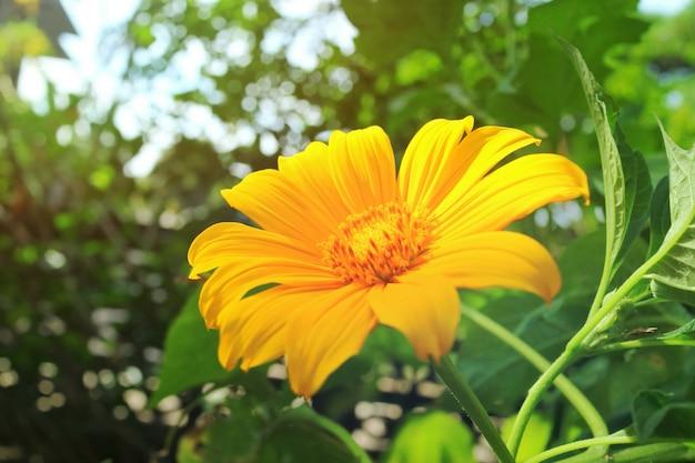 Pouca flor amarela, cravo-de-defunto da árvore ou girassol mexicano, com folhas verdes e luz solar.