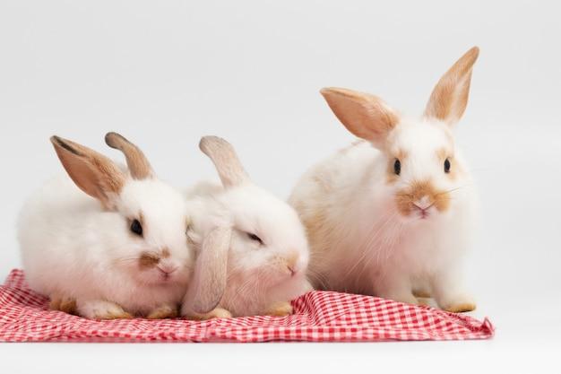 Pouco coelho de três brancos que senta-se no fundo branco isolado no estúdio.
