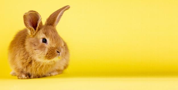 Pouco coelho vívido de easter em um fundo amarelo. coelho fofo vermelho em uma parede amarela,