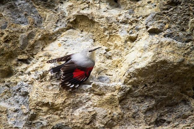 Pouco wallcreeper com asas abertas e plumagem vermelha visível na parede rochosa
