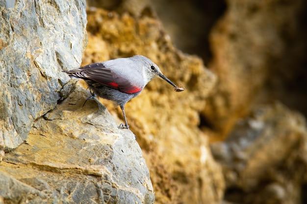 Pouco wallcreeper segurando inseto no bico e sentado na pedra nas montanhas
