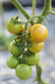 Poucos tomates verdes e amarelos