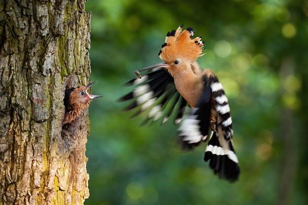 Poupa euro-asiática se reproduzindo em um ninho dentro de uma árvore e alimentando filhotes