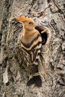 Poupa euro-asiática sentada perto da entrada de uma cavidade de árvore enquanto faz o ninho