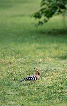Poupa euro-asiática (upupa epops) caminhando em busca de comida no quintal verde.