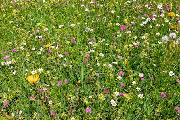 Prado alpino com flores frescas