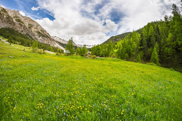 Prado alpino de florescência e floresta verde luxúria