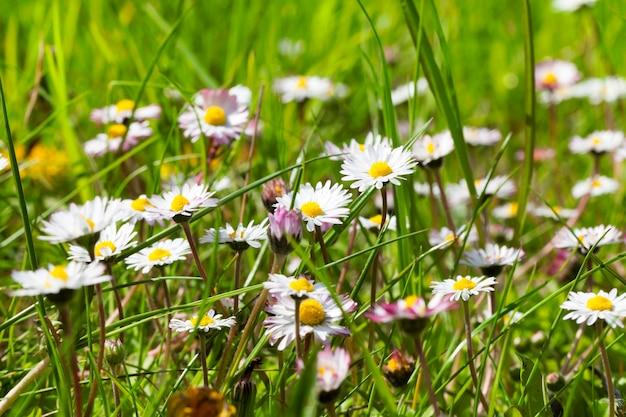 Prado com flores de camomila branca e grama verde