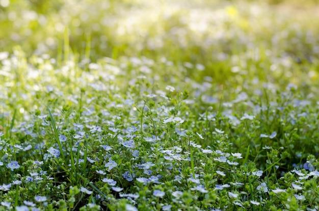 Prado das flores dos miosótis sob o sol brilhante da primavera. myosotis ou escorpião gramíneas florescendo na primavera.