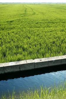 Prado de campo de arroz verde na vala de espanha