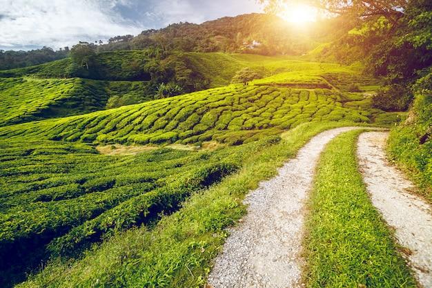 Prado de chá com estrada