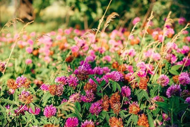 Prado de flores de trevo rosa em um dia ensolarado