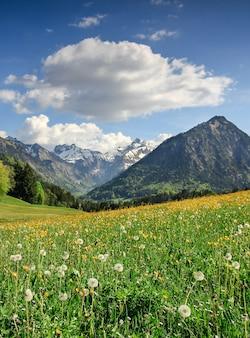 Prado de flores e montanhas cobertas de neve. baviera, alpes, allgau, alemanha.
