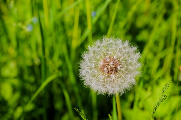 Prado de leão branco. campo de verão. campo-leão. fundo de primavera com flores brancas. sementes. flor-de-leão fofa