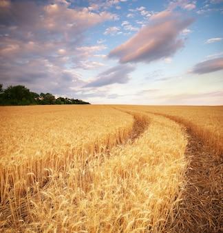 Prado de trigo. composição da natureza.