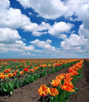 Prado de tulipas