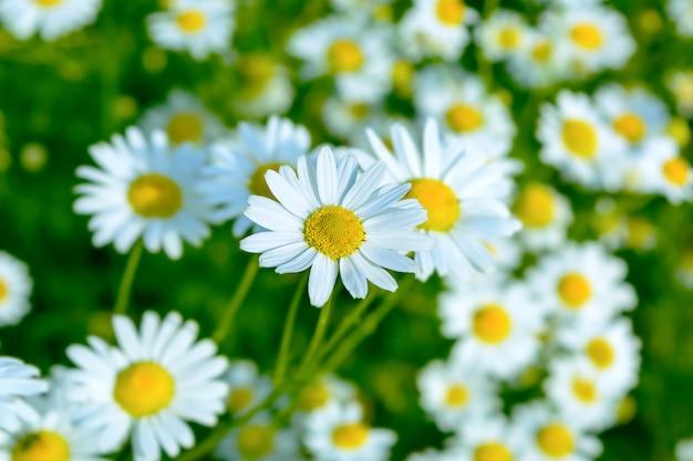 Prado de verão de margaridas florescendo