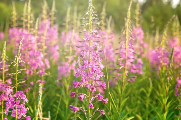 Prado flor. blooming sally. pôr do sol
