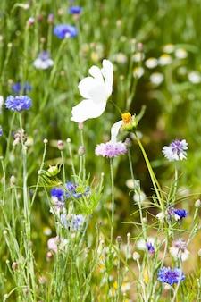 Prado flor