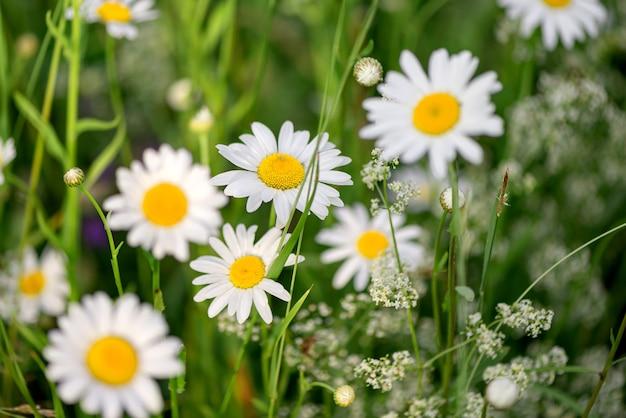 Prado florescendo de flores silvestres de camomila branca no verão