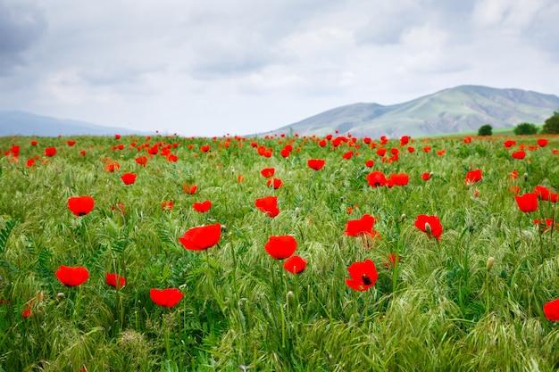 Prado florescendo de papoilas vermelhas.