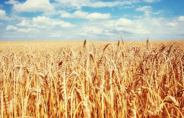 Prado trigo sob o céu. mundo da beleza. ucrânia. europa