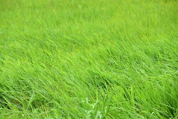Prado verde com vento sopra lindamente. use como imagem de fundo.