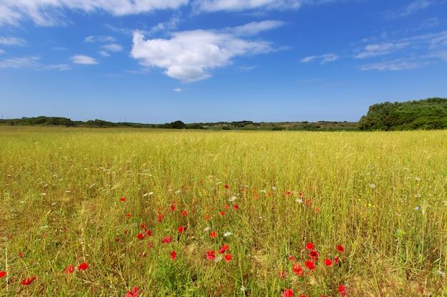 Prados de grama verde menorca ciutadella com papoilas vermelhas