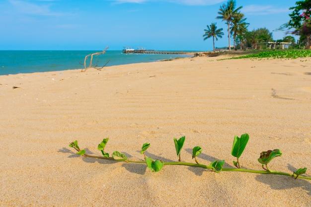 Praia, mar com creeper do pé da cabra ou corriola da praia durante a estação do verão.