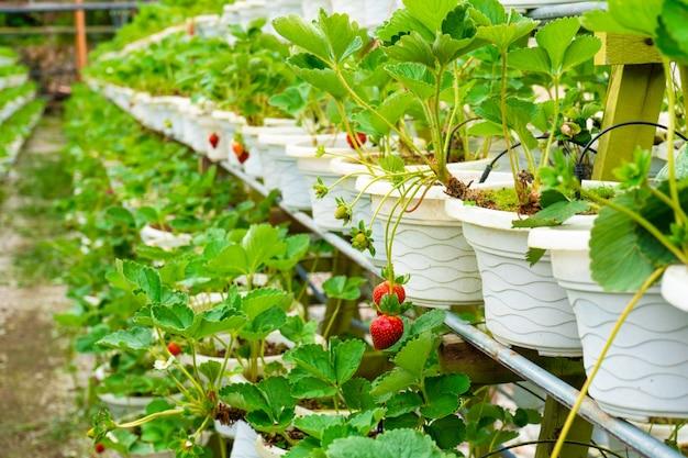 Prateleiras em vasos e fazenda de morango com sistema de irrigação na malásia.