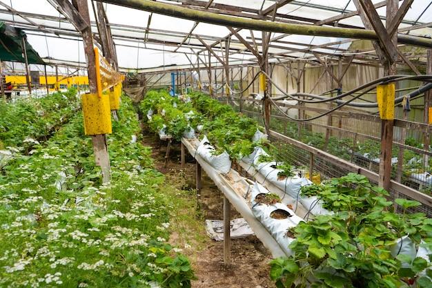 Prateleiras em vasos e sistema de irrigação de fazenda de morango na malásia.