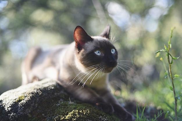 Precioso gato siamês observando na floresta