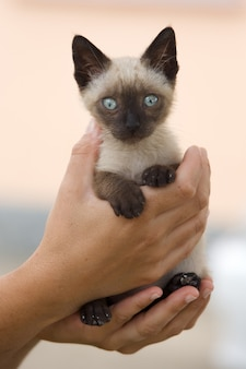 Precioso pequeno gato siamês preso entre as mãos