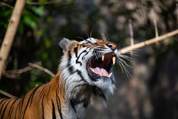 Predador tigre, mamífero selvagem, animal carnívoro selvagem, tigre de bengala em exibição no zoológico