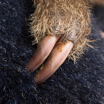 Preguiça de dois dedos do bebê, choloepus didactylus em um branco isolado
