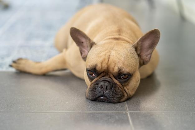 Preguiçoso bulldog francês deitado no chão