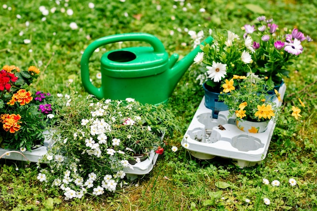 Preparação antes do transplante de flores na varanda, regador e mudas.