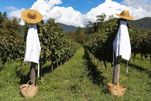 Preparação para a colheita das uvas. chapéus de palha, aventais e cestos nos pilares da vinha. dia ensolarado.