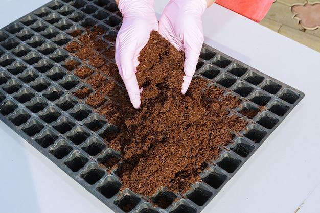 Preparação para semear sementes de pimenta em cassetes de plântulas plásticas preenchidas com solo de húmus.