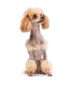 Preparado poodle toy posando
