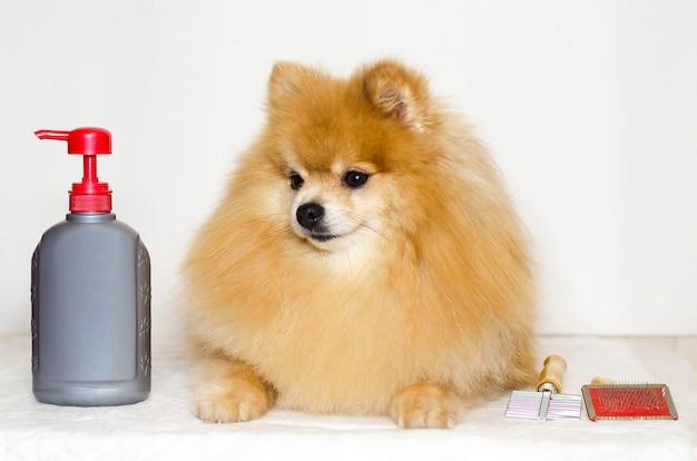 Preparando pomeranian. shampoo, condicionador, pente para cachorro. clínica de cuidado de animais domésticos. lavando spitz alemão de cabelos compridos.